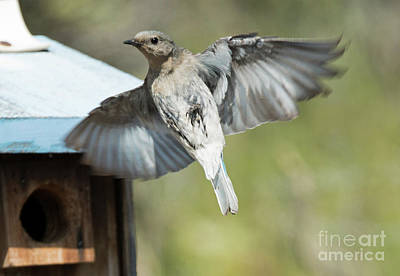 Bluebird Photograph - Leaving Home by Mike Dawson