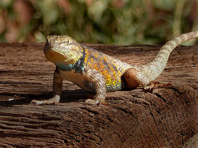 Photograph - Lee's Ferry-lonely Dell Ranch Lizard 2 by Jeff Brunton