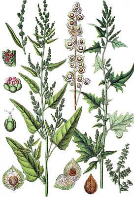 Spinach Drawing - left Glanzmelde, Atriplex sagittata    right Garden Orache, R by Bildagentur-online