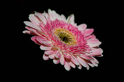Gerbera Daisy Photograph - Left In The Dark by Trish Tritz