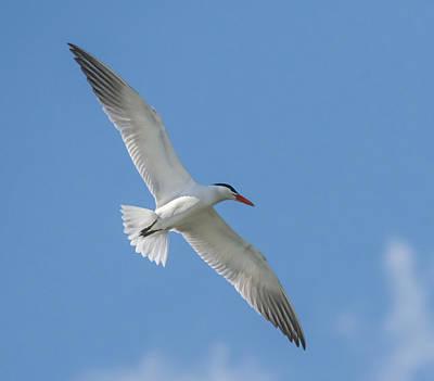 Photograph - Left Tern by Loree Johnson