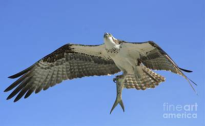 Osprey Wall Art - Photograph - Leftovers by Quinn Sedam