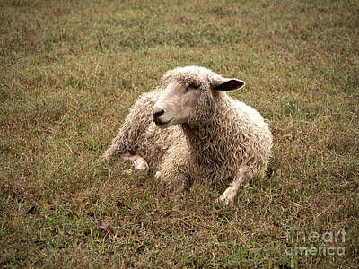 Leicester Sheep In The Dewy Grass Art Print