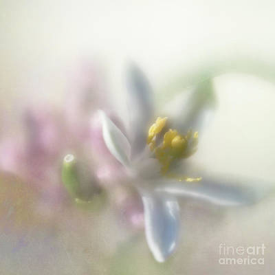 Photograph - Lemon Blossom by Elena Nosyreva