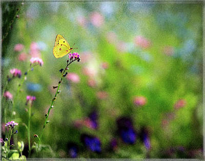 Photograph - Lemon Butterfly In Summer Meadow  by Peter V Quenter