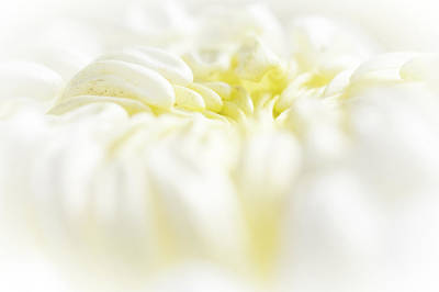 Photograph - Lemon Meringue Chrysanthemum by Mother Nature