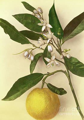 Vine Painting - Lemon by Pietro Guidi