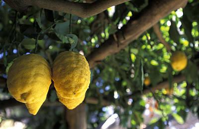 Lemons Hanging From A Lemon Tree Art Print by Richard Nowitz
