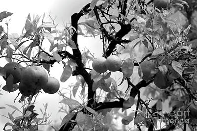 Photograph - Lemons by John Rizzuto