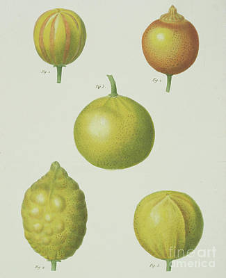 Lime Drawing - Lemons by Pancrace Bessa