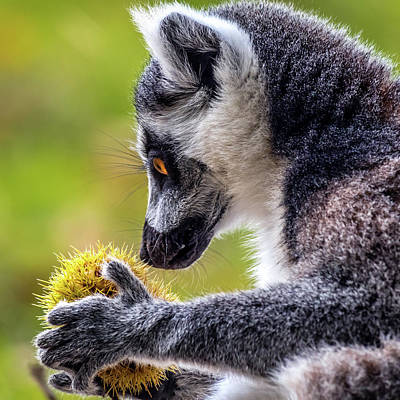 Photograph - Lemur And Sweet Chestnut by Nick Bywater