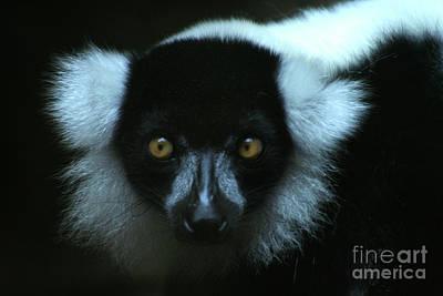 Photograph - Lemur Looks by Alycia Christine