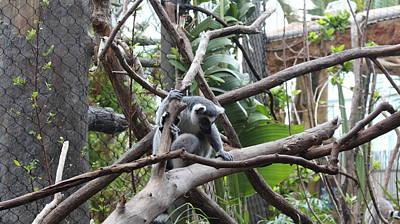 Lemur Scared Of Heights Print by Tim Michael Ufferman