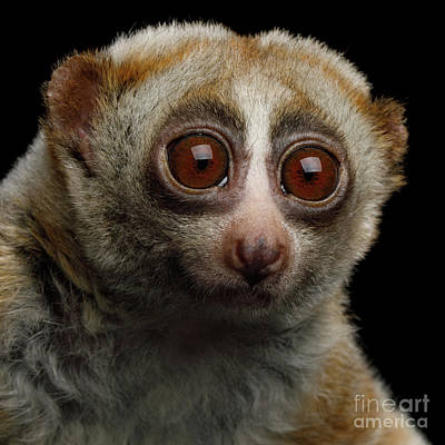Photograph - Lemur Slow Loris by Sergey Taran