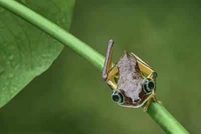 Art Print featuring the photograph Lemur Tree Frog - 1 by Nikolyn McDonald