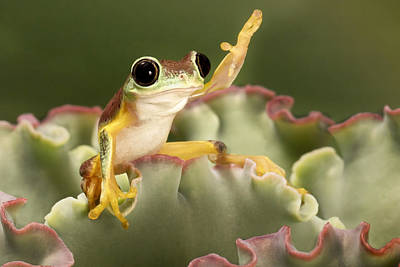 Costarica Photograph - Lemur Tree Frog by Linda D Lester