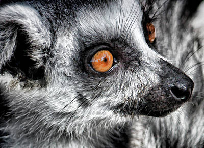 Photograph - Lemur Up Close by HH Photography of Florida