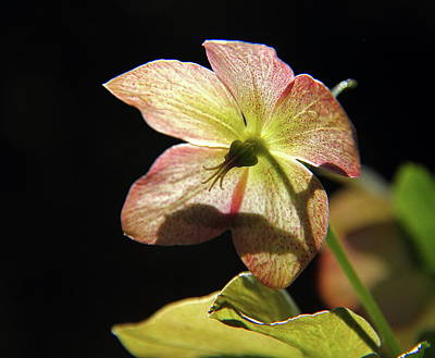 Photograph - Lenten Rose by Allen Nice-Webb