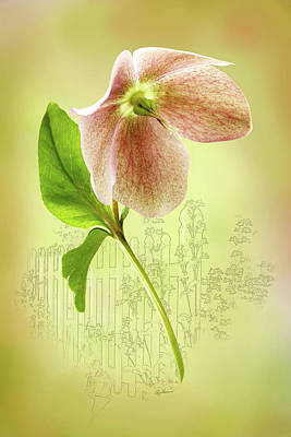 Photograph - Lenton Rose 2 by Ann Lauwers