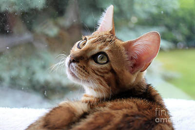 Photograph - Leo The Bengal by Teresa Zieba