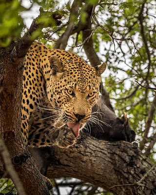 Photograph - Leopard #2 by Tex Wantsmore