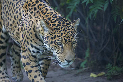 Photograph - Leopard 3 by Michel DesRoches
