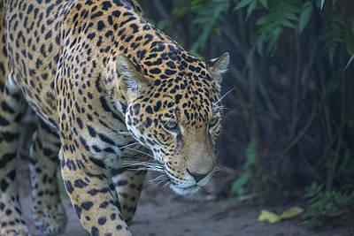 Photograph - Leopard 3 by Michel DesRoches