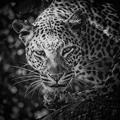Photograph - Leopard, Black And White by Jean Francois Gil