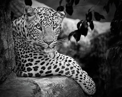 Focus On Foreground Photograph - Leopard by Cesar March