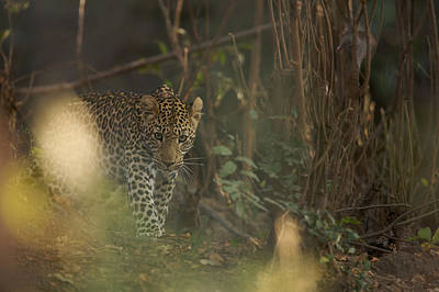 Leopard Comes Out Of The Bush Art Print by Johan Elzenga