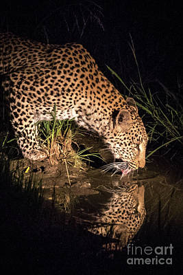 Photograph - Leopard Drinking Vertical by Jennifer Ludlum