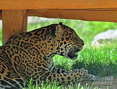 Photograph - Leopard At Rest by Glenn Gordon