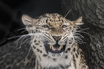 Photograph - Leopard Headshot by William Bitman