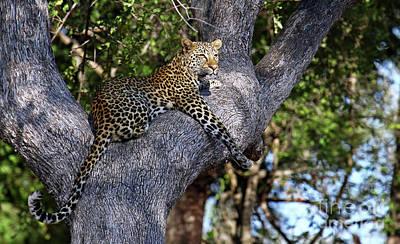 Photograph - Leopard In A Tree, Africa Wildlife by Wibke W