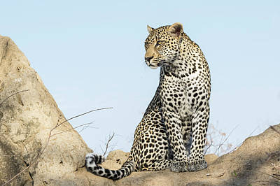 Photograph - Leopard In Africa by Alan Bland