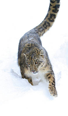 Photograph - Leopard In The Snow by Steve McKinzie