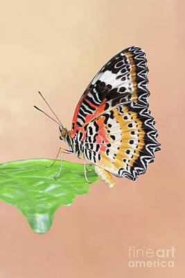 Photograph - Leopard Lacewing Butterfly #2 V2 by Judy Whitton