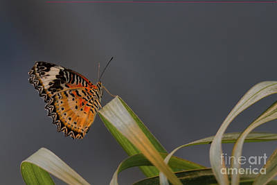 Photograph - Leopard Lacewing by David Cutts