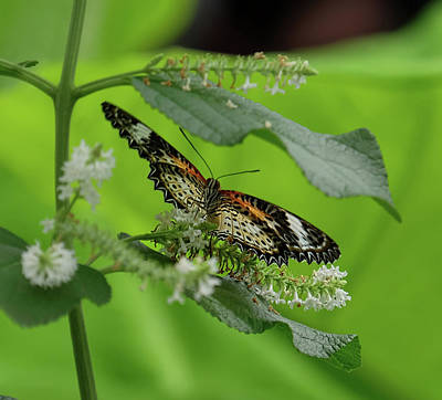 Photograph - Leopard Lacewing Dining by Ronda Ryan