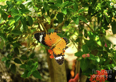 Photograph - Leopard Lacewing by Michelle Meenawong