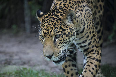 Photograph - Leopard by Michel DesRoches