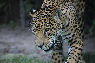 Photograph - Leopard by Michel DesRoches