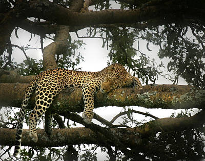 Photograph - Leopard Napping by Joseph G Holland