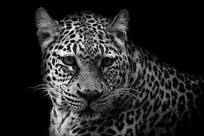Photograph - Leopard On Black - Bw by Ron Grafe
