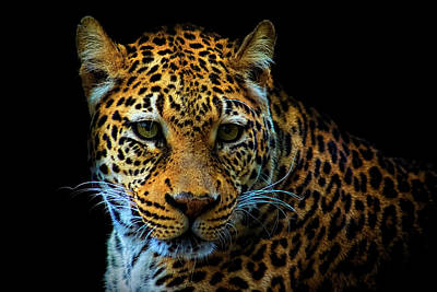 Photograph - Leopard On Black by Ron Grafe