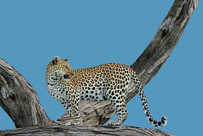Photograph - Leopard On The Lookout 2 by Kay Kochenderfer
