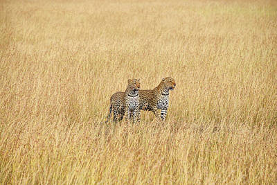 Photograph - Leopard Pair by Balram Panikkaserry