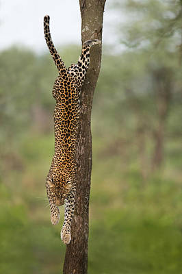 Leopard Panthera Pardus Jumping Art Print by Panoramic Images