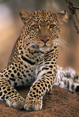 Leopard Panthera Pardus, Masai Mara Print by Anup Shah