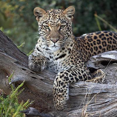 Photograph - Leopard Panthera Pardus Resting by Sergey Gorshkov